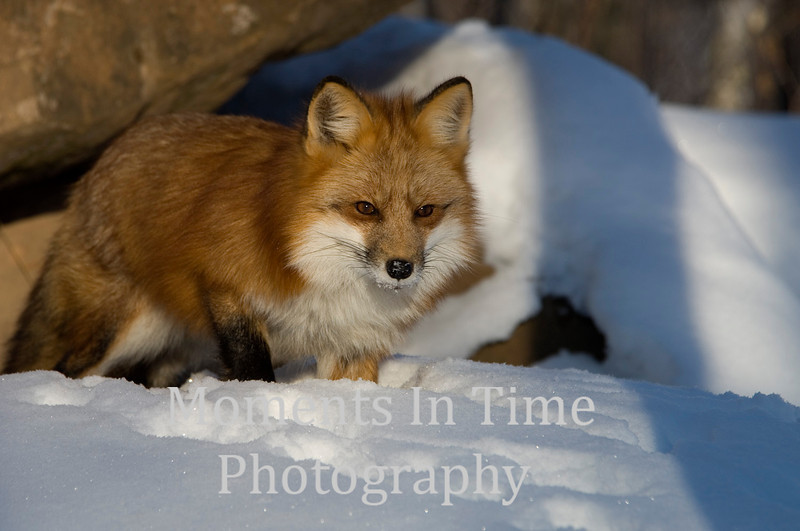 Red fox in snow close