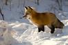 Backlit fox