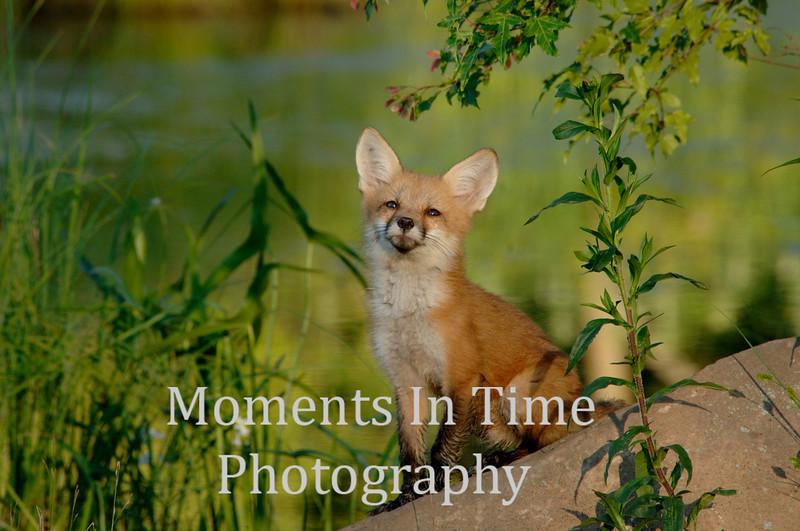 Fox pup on rock