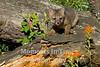 Gray fox on log
