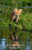 Fox pup reflected