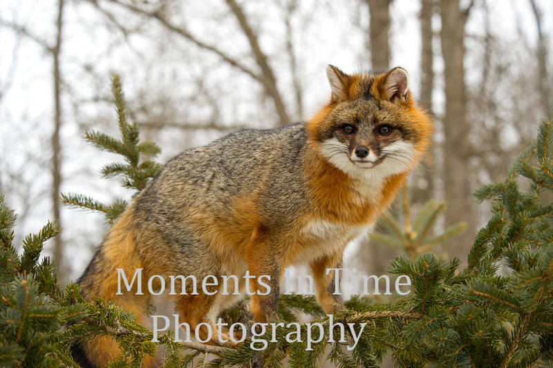 Fox gray (urocyon cinereoargenteus)