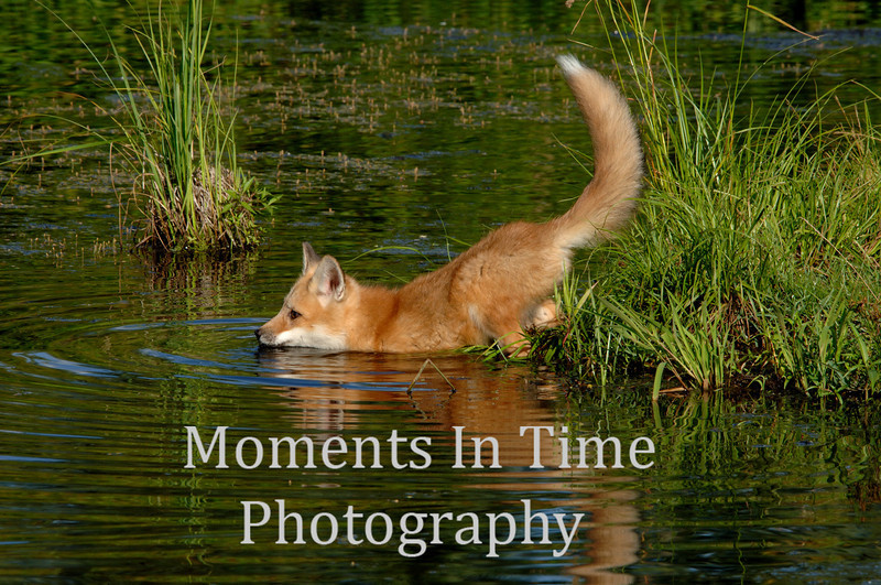 Red fox pup swimming