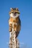 Gray fox posing