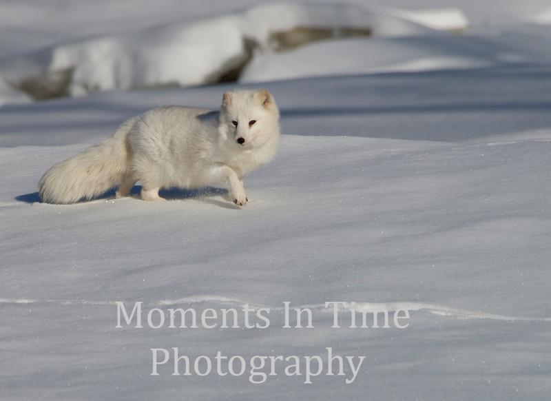 Arctic fox  vulpes lag opus
