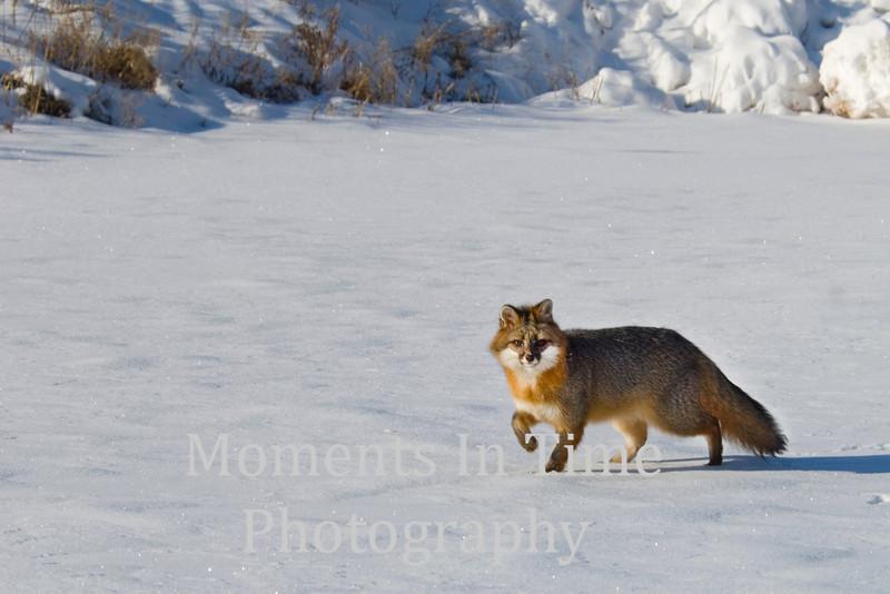 Fox gray (urocyon cinereoargenteus)