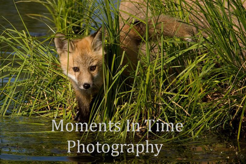 Fox pup waters edge