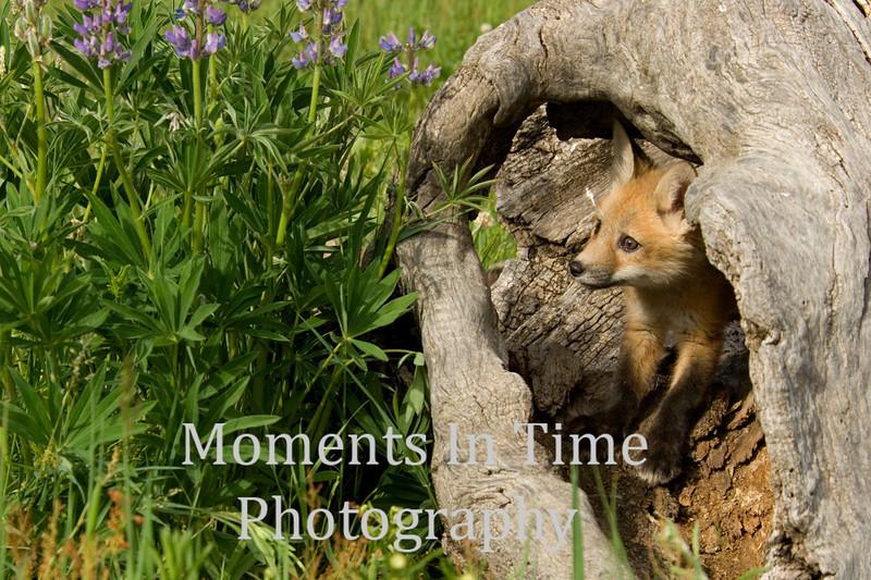 Fox pup in log