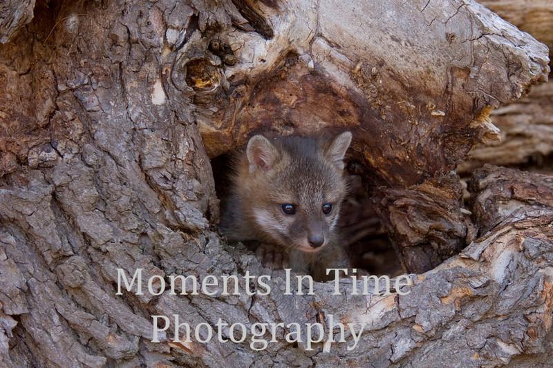 Gray fox peeking