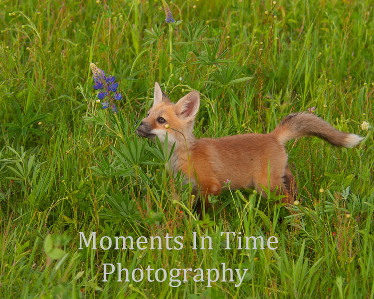 Red fox pup with lupine