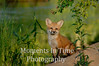 Fox cub posing