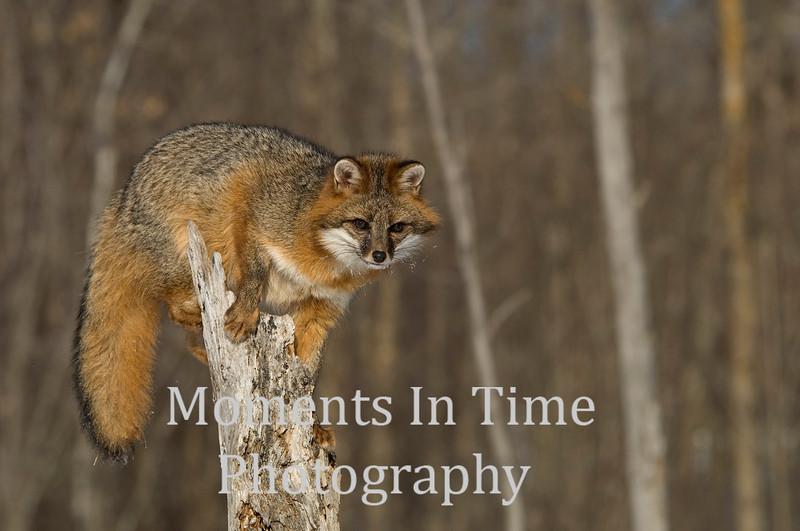 Gray fox on tree