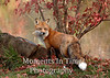 Autumn red fox