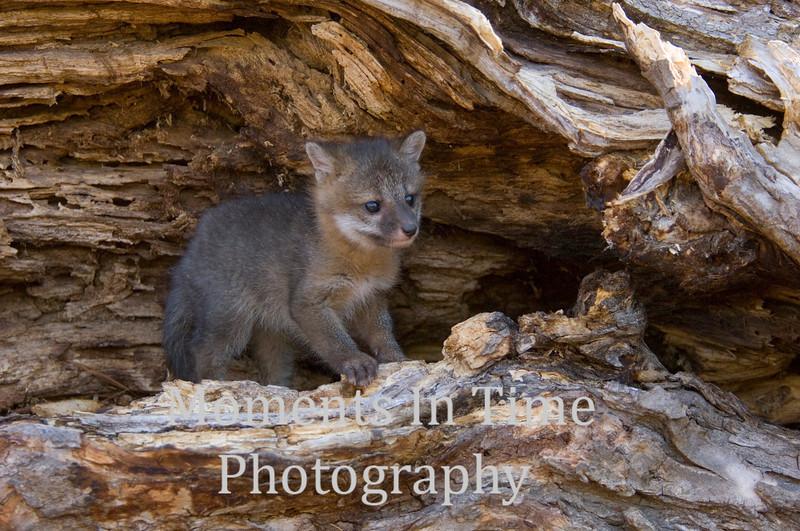 Gray fox kit in log