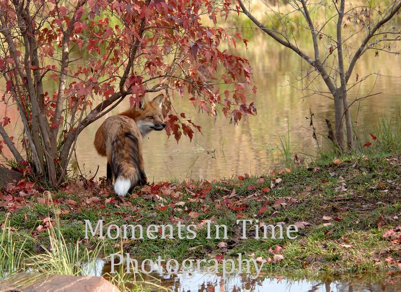 Autumn red fox scene