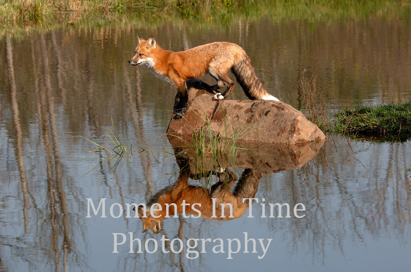 Fox on rock reflected