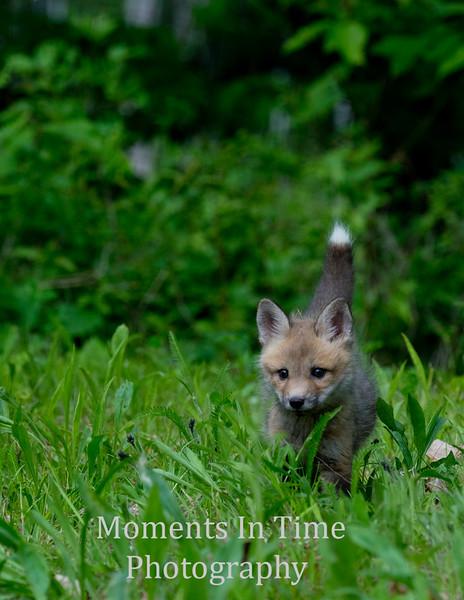 Fox red  (Vulpes fulva)