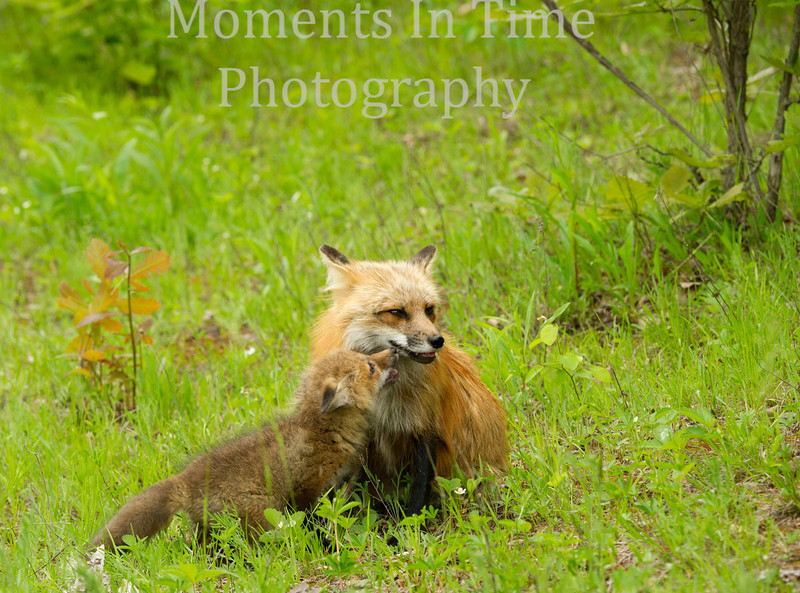 Fox with affectionate kit cr
