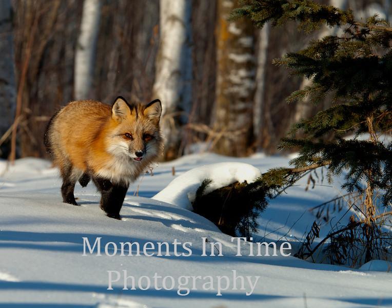 Fox red (vulpes vulpes)