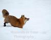 Fox red   vulpes fulva