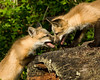 Red fox Pups playing on a log