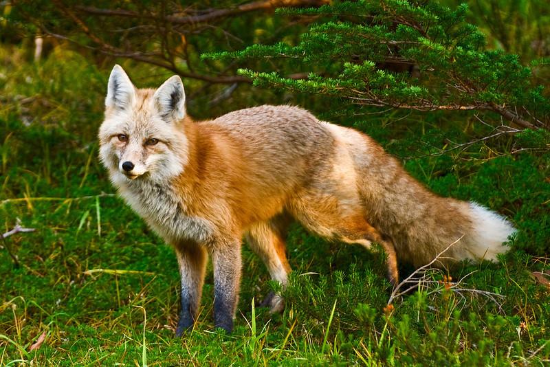Red fox in Mount Rainier NP