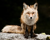 Red fox in Mount Rainier National Park