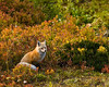 Red fox in Mount Rainier NP