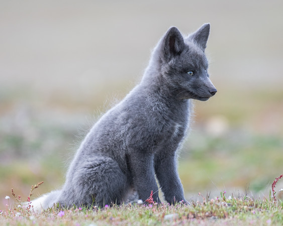 A young gray kit fox