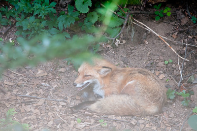 Garden fox on a hazy hot and very humid afternoon...