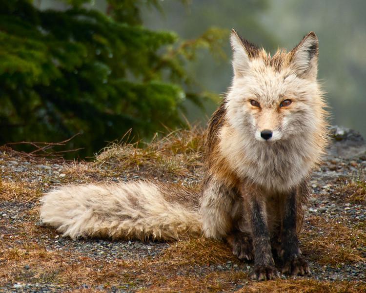 Red fox in Mount Rainier National Park