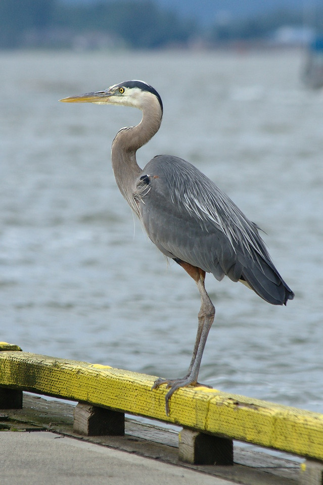 """Fred"" the blue heron"