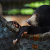 "A sun bear cub relaxes in her hammock.<br /> <br /> Phnom Tamao Wildlife Rescue Centre, Cambodia - July 2012.<br /> <br /> All proceeds from prints go to Free the Bears Fund, who rescued all of these sun and moon bears.<br />  <a href=""http://www.freethebears.org.au"">http://www.freethebears.org.au</a>"