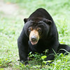 "Kong, a  sun bear rescued from a karaoke bar in Koh Kong province was blind for most of his life. This photo was taken before his sight was restored by Free the Bears and a world-class team of vets from around the world.<br /> <br /> Phnom Tamao Rescue Centre, Cambodia - Jul 2014.<br /> <br /> All proceeds from prints go to Free the Bears Fund, who rescued the bears in this gallery.<br /> <a href=""http://www.freethebears.org.au"">http://www.freethebears.org.au</a>"