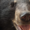 "Another happy young moon bear smiles for the camera.<br /> <br /> Phnom Tamao Wildlife Rescue Centre, Cambodia - Feb 2011.<br /> <br /> All proceeds from prints go to Free the Bears Fund, who rescued this little one.<br />  <a href=""http://www.freethebears.org.au"">http://www.freethebears.org.au</a>"