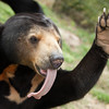 "Hands up who is happy to have been rescued... Koh the sun bear certainly is!<br /> <br /> Phnom Tamao Wildlife Rescue Centre, Cambodia - Nov 2013.<br /> <br /> All proceeds from prints go to Free the Bears Fund, who rescued the bears in this gallery.<br /> <br /> <a href=""http://www.freethebears.org.au"">http://www.freethebears.org.au</a>"