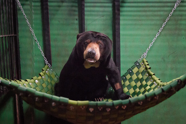 "Here Kong relaxes in his hammock as he recovers from his eye surgery.<br /> <br /> Phnom Tamao Rescue Centre, Cambodia - Jul 2014.<br /> <br /> All proceeds from prints go to Free the Bears Fund, who rescued the bears in this gallery.<br /> <a href=""http://www.freethebears.org.au"">http://www.freethebears.org.au</a>"