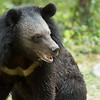 "Lily the moon bear is easy to spot with the beautiful colour of her face.<br /> <br /> Phnom Tamao Wildlife Rescue Centre, Cambodia - Nov 2013.<br /> <br /> All proceeds from prints go to Free the Bears Fund, who rescued the bears in this gallery.<br /> <br /> <a href=""http://www.freethebears.org.au"">http://www.freethebears.org.au</a>"