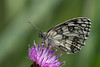 Marbled White butterfly (Melanargia galathea) feeding on knapweed