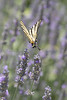 Scarce Swallowtail (Iphiclides podalirius) flying over lavender