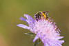 A honey bee nectaring on scabious in early morning sun on the Col des Fillys in the French Alps