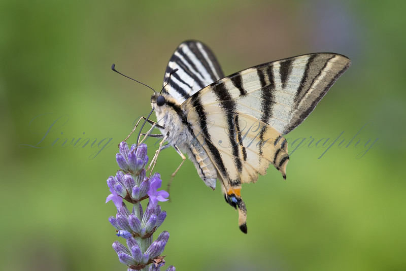 Scarce Swallowtail butterfly (Iphiclides podalirius) nectaring in early morning sun on lavender near Najac in the Aveyron