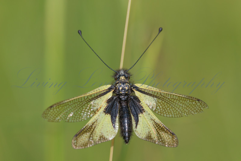 Common Ascalaphe (Libelloides longicornis) resting on a grass stem in an alpine meadow on the Col des Fillys in the Alps