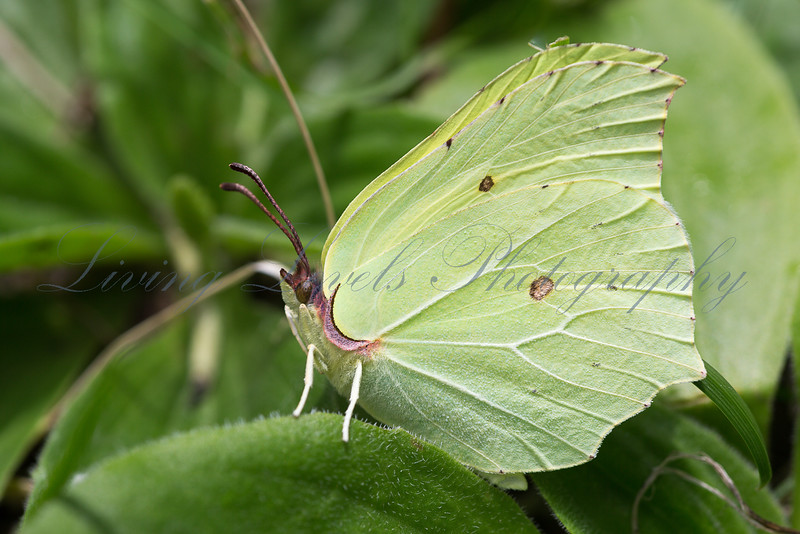 A male Brimstone butterfly (Gonepteryx rhamni) rests on foliage at La Breole in the French Alps