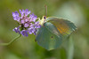 A Cleopatra butterfly (Gonepteryx cleopatra) nectaring in afternoon sun on scabious  in the Combe de Caray in the Aveyron
