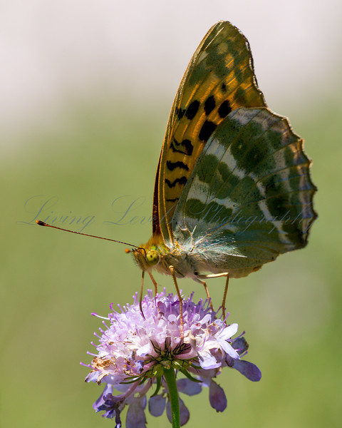 A Silver-washed Fritillary butterfly (Argynnis paphia) nectaring in afternoon sun on scabious in the Combe de Caray in the Aveyr