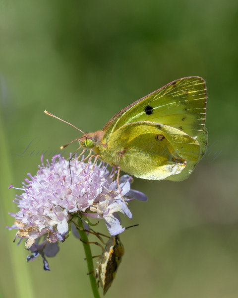 A Clouded Yellow butterfly (Colias crocea) nectaring in afternoon sun on scabious  in the Combe de Caray in the Aveyron
