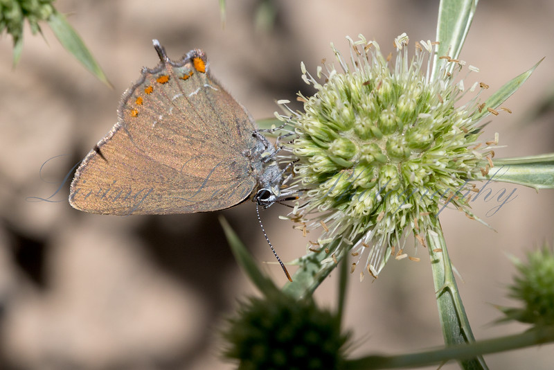 False Ilex Hairstreak butterfly (Satyrium esculi) basking in afternoon sun on the outskirts of Millau in the Aveyron