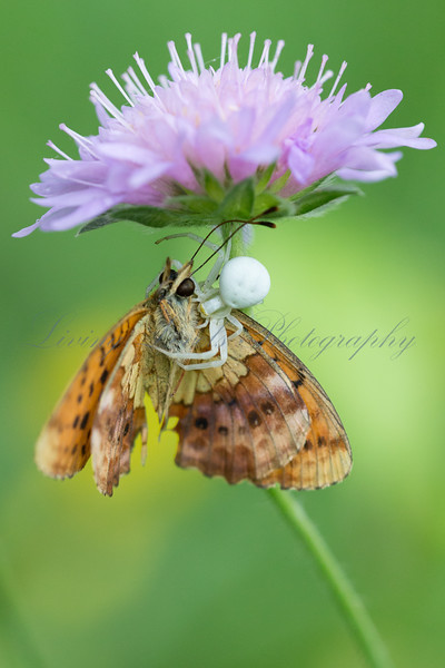 A Marbled Fritillary butterfly (Brenthis daphne) is captured and killed by a white crab spider laying ambush under a flower