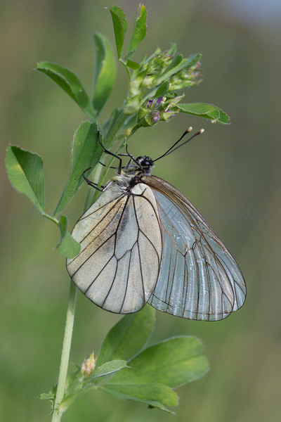 Black-veined White (Aporia crataegi), drying its wings from overnight rain, in early morning sun, in an alpine meadow.